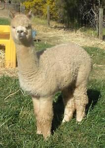 Alpaca, Rosie is a beautiful breeding medium fawn female Lewiston Mallala Area Preview