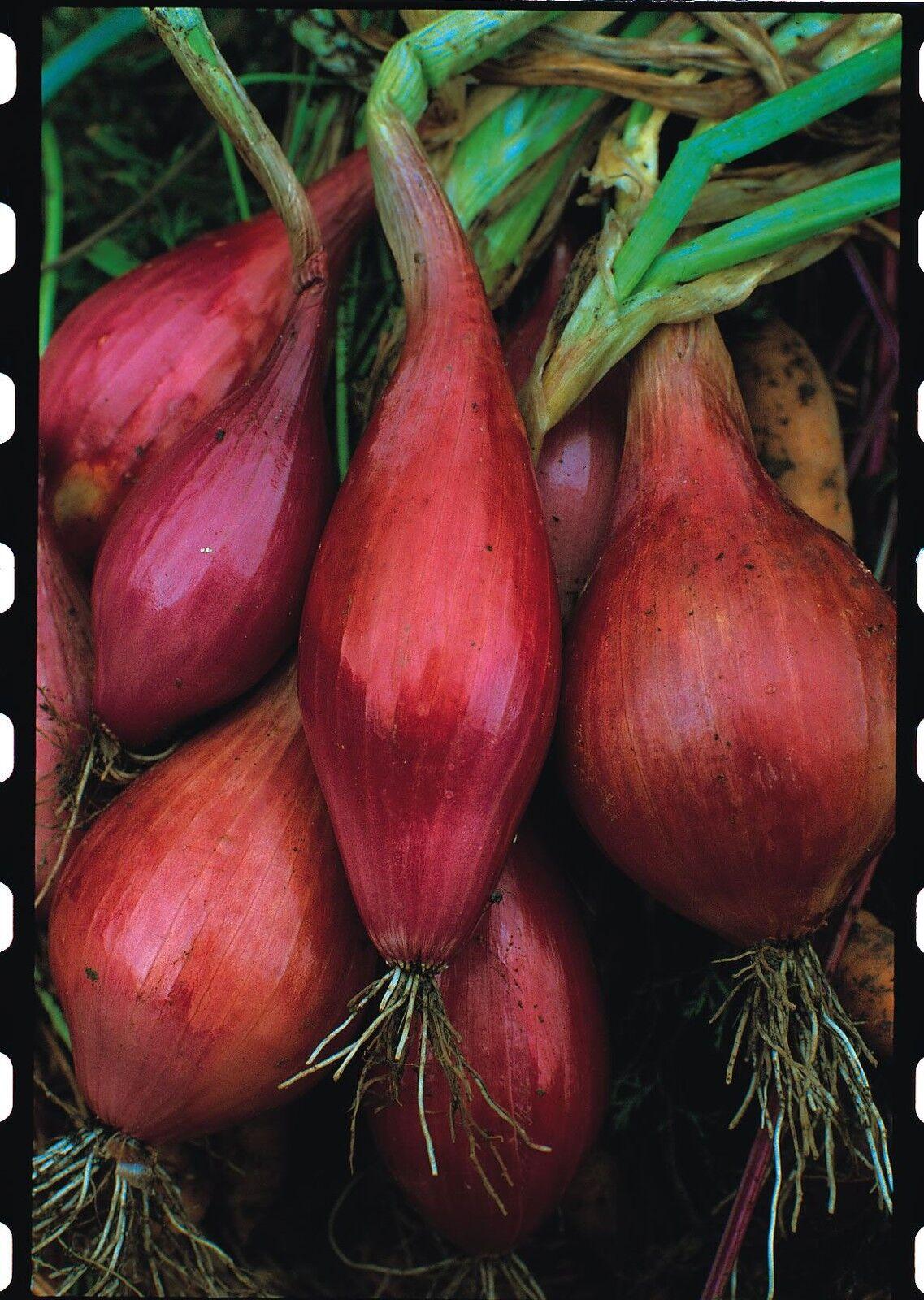 Vegetable Onion Economy Ailsa Craig 300 Seeds