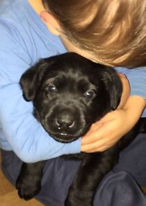 Registered Labrador Puppies Baulkham Hills The Hills District Preview