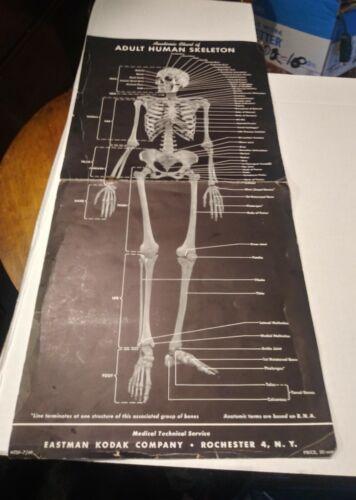RARE !!! Vintage 194 Eastman Kodak Co. Anatomical Chart of Adult Human Skeleton