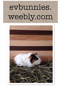 Adorable tortoise shell color baby girl GUINEA PIG!
