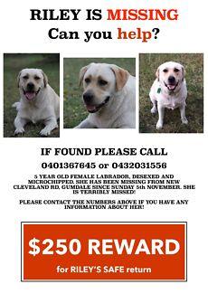 LOST LABRADOR DOG FROM GUMDALE 4154 - Please help!