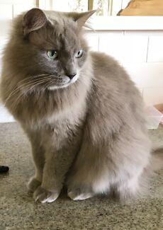 LOST CAT ... $200 REWARD for safe return . 4069 area