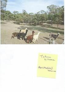 7 neutered male alpacas Berringa Golden Plains Preview