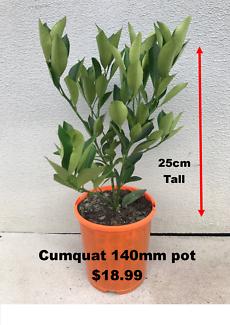 Cumquat Fruit Trees 25cm tall in 140mm pots - $18.99