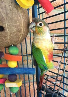 Hand Raised Conure with Bird Cage