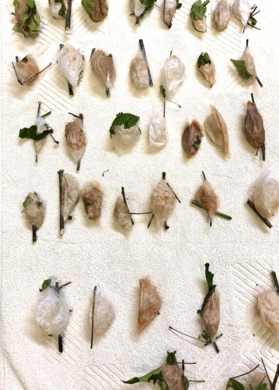 3x Live Healthy Cecropia moth cocoons,  all shapes and sizes!