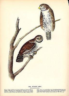 1937 Vintage Audubon Bird  436  Pygmy Owl  Color Art Print Plate Lithograph