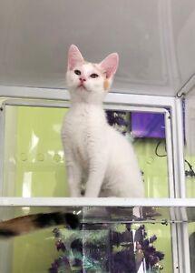 Jaffa - Kitten for Adoption