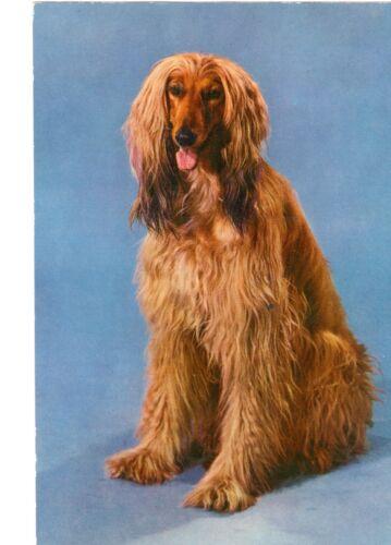 Vintage Afghan Hound Dog Photo Postcard by Krüger in the Netherlands c1980s