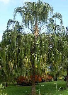 Native RAIN PALM - Livistona decipiens - Australian screen plant Casula Liverpool Area Preview