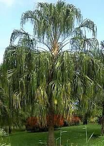 FALLING RAIN Palm– 1m tall Native Palmtree. Livistona decipiens Casula Liverpool Area Preview