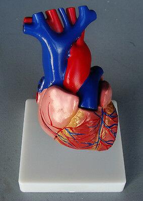Model Anatomy Professional Educational Medical Heart Model Life Size Artmed Usa
