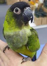 HAND RAISED NANDAY CONURE Hoppers Crossing Wyndham Area Preview