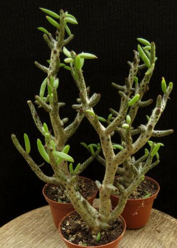 Tylecodon bucholtzianus,Caudex,Euphorbia,Bulb