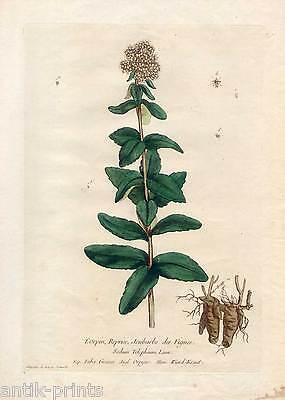 "Wundkraut-Orpyne - Kupferstich N. F. Regnault 1774 Blume-Pflanze-""La Botanique"""
