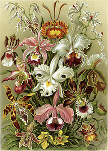 Art Forms in Nature: Ernst Haeckel: Orchideae - Fine Art Print