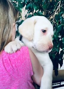 CKC Labrador Retrievers With Champion Bloodlines ~ Only 4 Left!