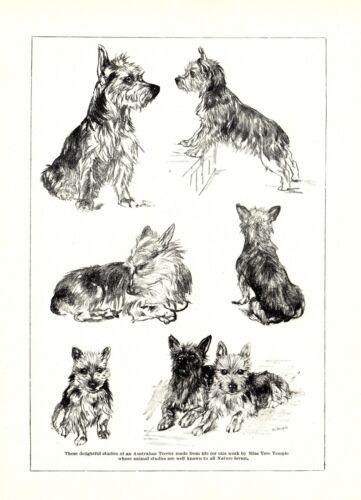 1930s Antique Australian Terrier Dog Art Print Vere Temple Dog Art 3603-N