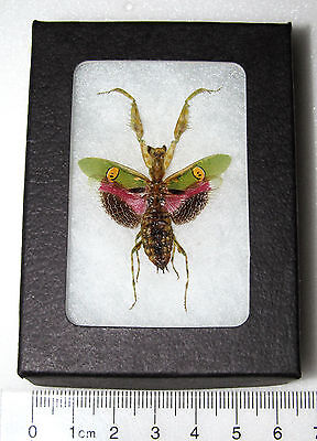 REAL PINK FLOWER PRAYING MANTIS CREOBROTER GEMMATUS FRAMED INSECT