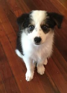 Border collie puppies Booval Ipswich City Preview