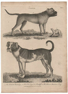 1800-Dog-Print-Old-English-Mastiff-British-Bulldog