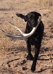 Shed Antler Dog Chews