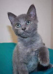 PURRING PAWS KITTEN RESCUE - kittens for Adoption Dayboro Pine Rivers Area Preview