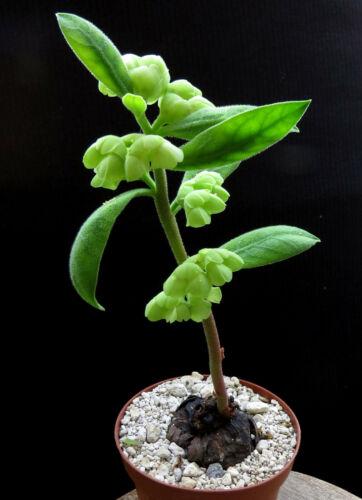 Monadenium discoideum 4cm,Caudex,Euphorbia,Bulb