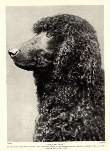 1930s Antique Irish Water Spaniel Dog Print Champion Prince of Liliwy 3430-FF