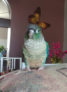 MALE CONURE NEW PRICE MUST SELL $350 NEGOTIABLE