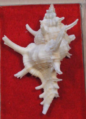 Chicoreus Axicornis 60+mm S. China Sea
