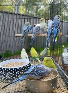Cute and friendly baby budgies for taming!