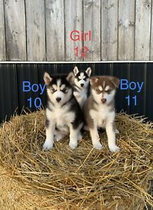 Adopt Dogs & Puppies Locally in Kitchener / Waterloo   Pets