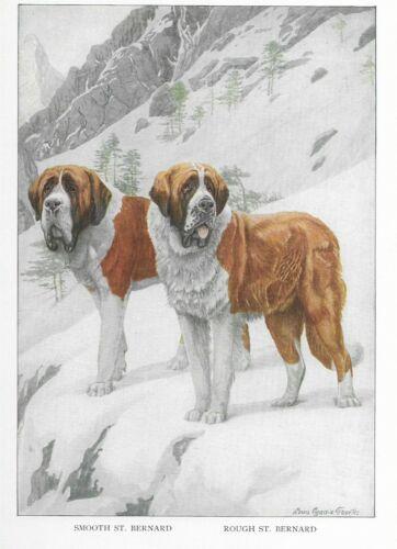 Saint Bernard - 1927 Color Dog Art Print - Matted