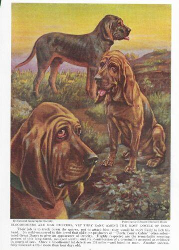 Bloodhound - Vintage Color Dog Art Print - Matted