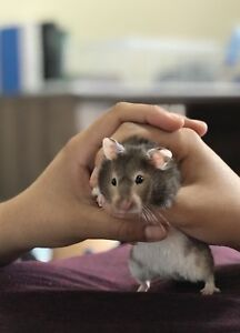 Syrian Baby hamsters