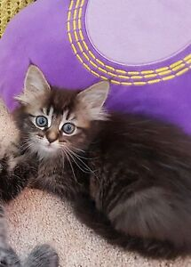 Tabby kitten Howrah Clarence Area Preview