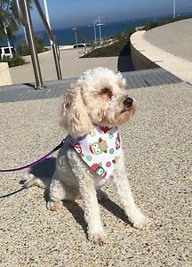 Wanted!!!! Spoodle, or any oodle! Ridgewood Wanneroo Area Preview