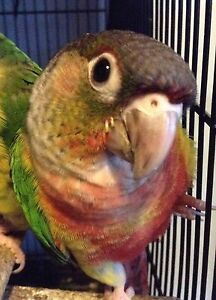Yellowsided conure hand raised babies Avoca Pyrenees Area Preview