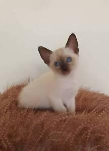 beautiful blue eyed tonkinese kittens