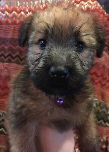 Soft-Coated Wheaten Terrier Puppies