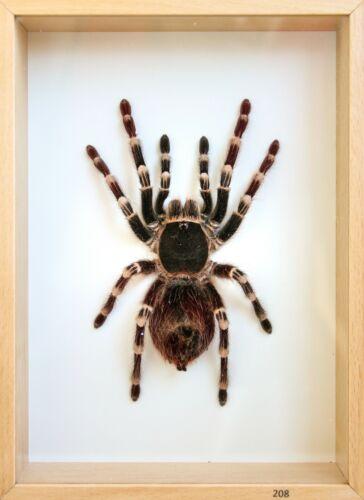 Unique Real Tarantula (Acanthoscurria geniculata) Taxidermy - Mounted,Framed