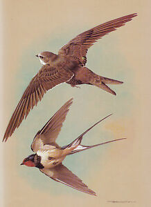 ++ SWIFT AND SWALLOW ++ 1960 PRINT OF A PAINTING BY BASIL EDE......