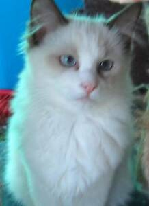 Ragdoll Pure Bred can be fully Registered Wonthaggi Bass Coast Preview