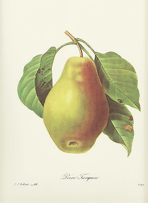 Birnbaum Blume (BIRNE Birnbaum Pyrus Kernobst FAKSIMILE Farbdruck  Pierre Joseph Redoute)