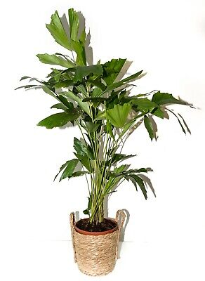 Caryota Mitis Burmese fishtail palm. 105Cm. Indoorplant FREE DELYVERY