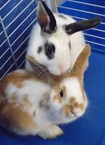 Rabbits need a new home as owner is Allergic to them Uralla Uralla Area Preview