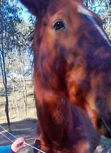 Thoroughbred Gelding 8 - 9 yr Old Maitland Maitland Area Preview