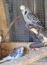 3 x Budgies and a king quail For Sale Knoxfield Knox Area Preview